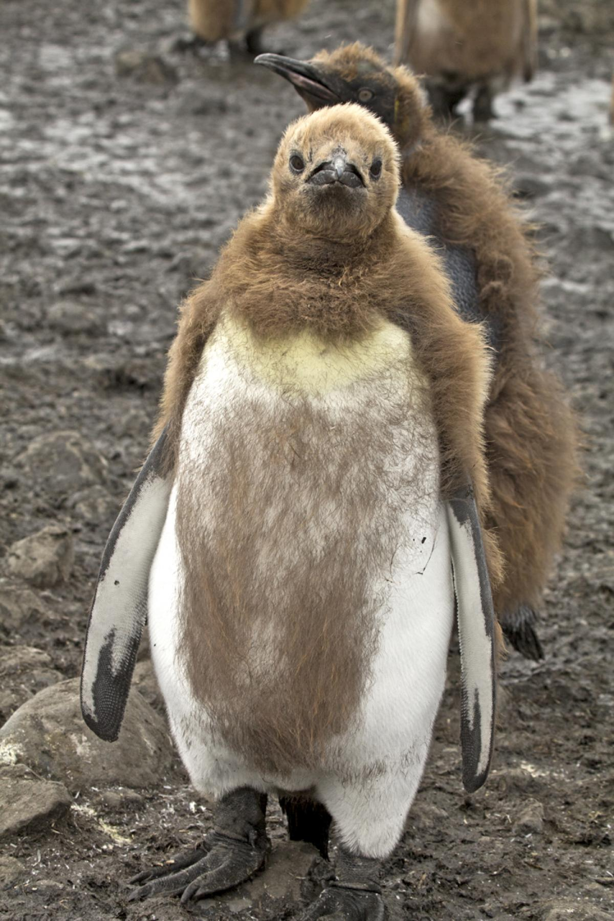 Do penguins have feathers - photo#24