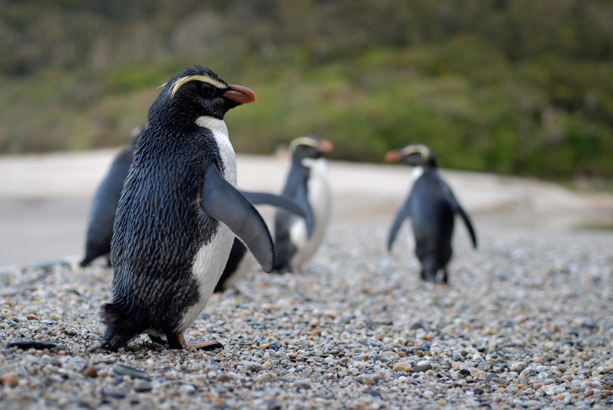 Fiordland crested penguin | New Zealand Birds Online