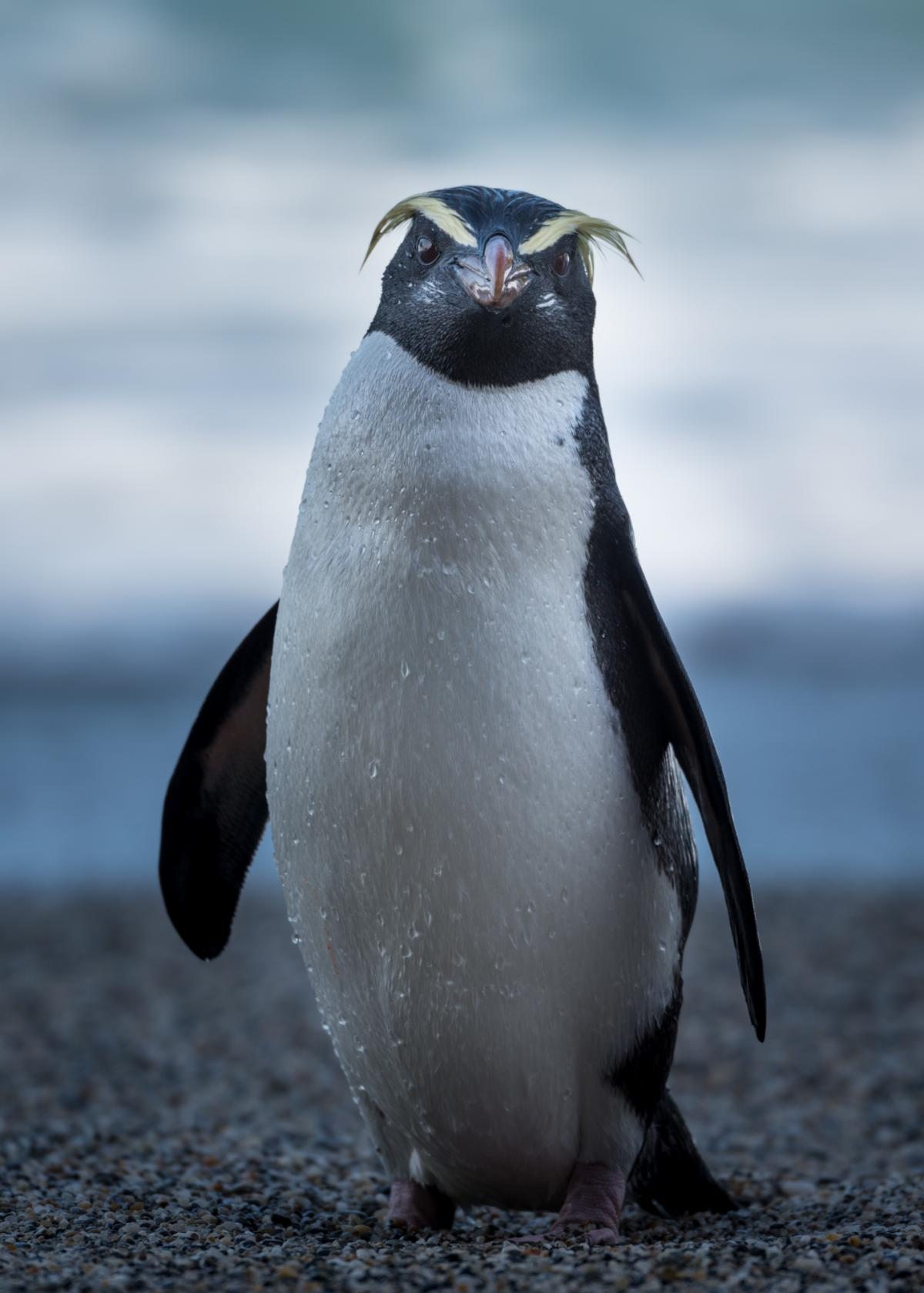 Little Yellow Bird >> Fiordland crested penguin | New Zealand Birds Online