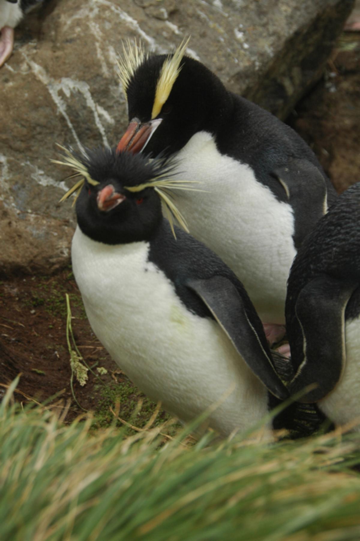 Erect Crested Penguin New Zealand Birds Online