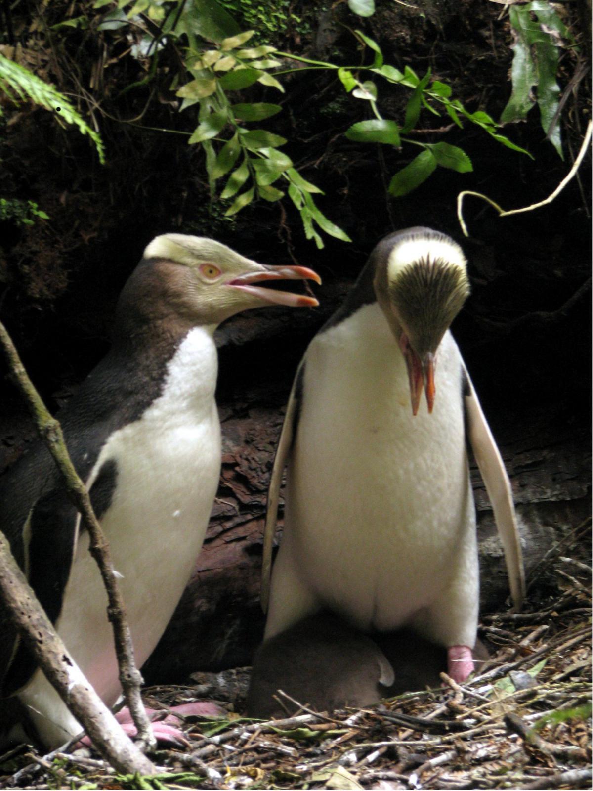 Yellow-eyed penguin   New Zealand Birds Online