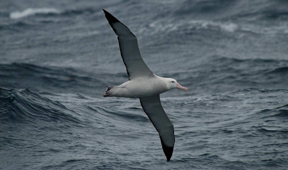 Wandering Albatross New Zealand Birds Online