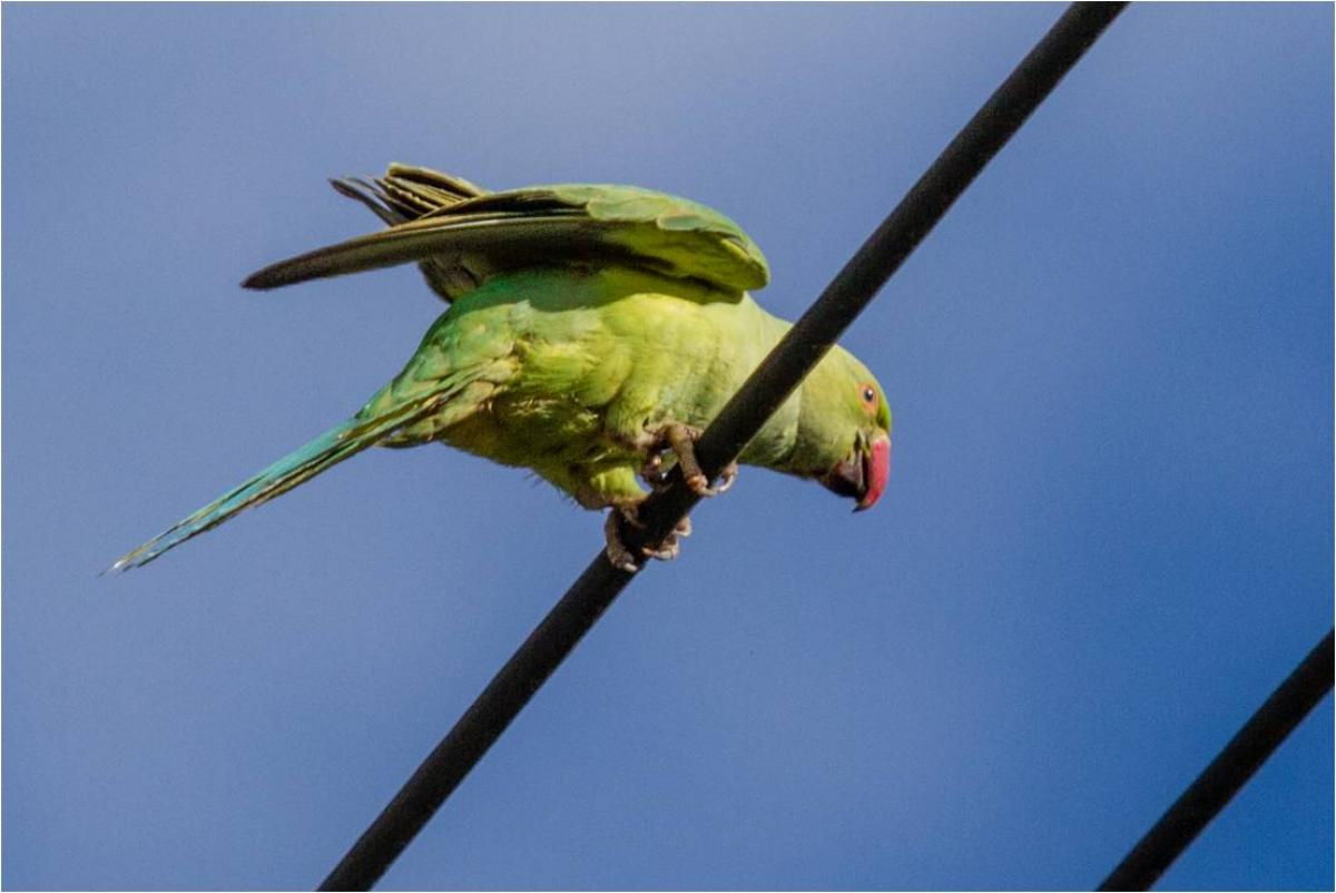 Rose-ringed parakeet | New Zealand Birds Online