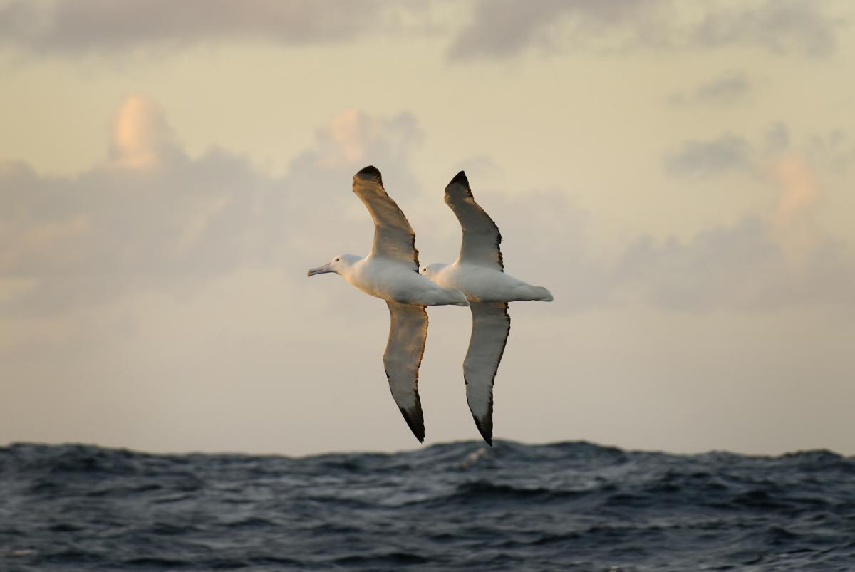 southern royal albatross new zealand birds online