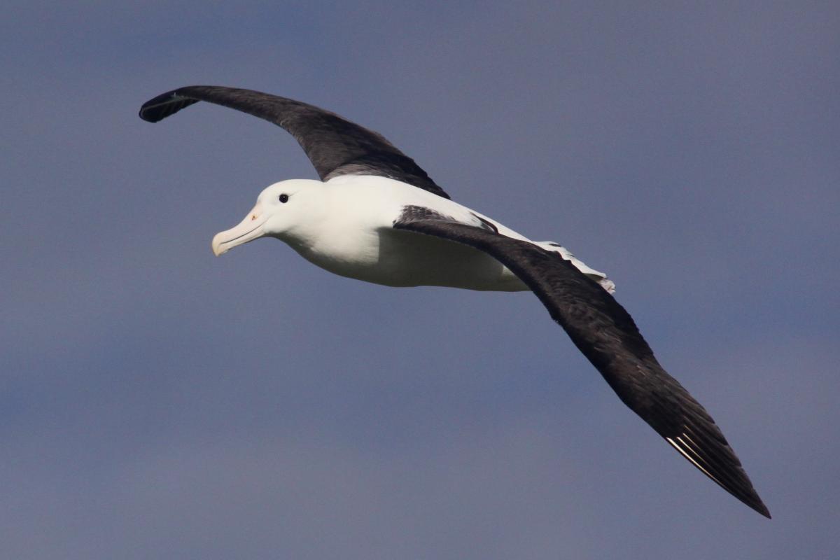 Native NZ Birds: Northern Royal Albatross
