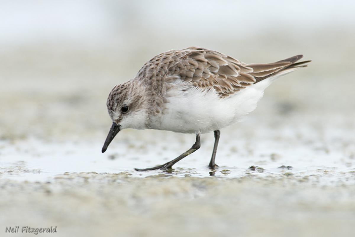 Red-necked stint | New Zealand Birds Online