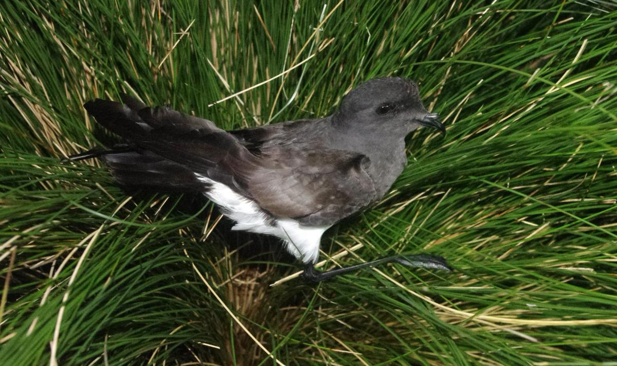 Black-bellied storm petrel | New Zealand Birds Online