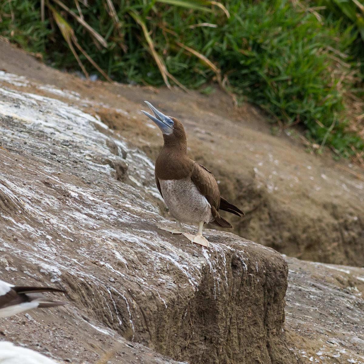 Brown booby immature - photo#26