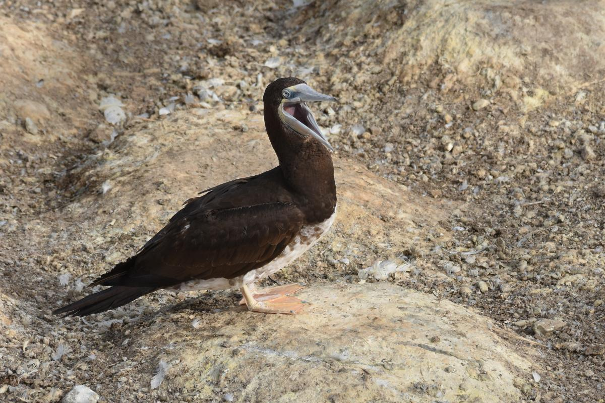 Brown booby immature - photo#24