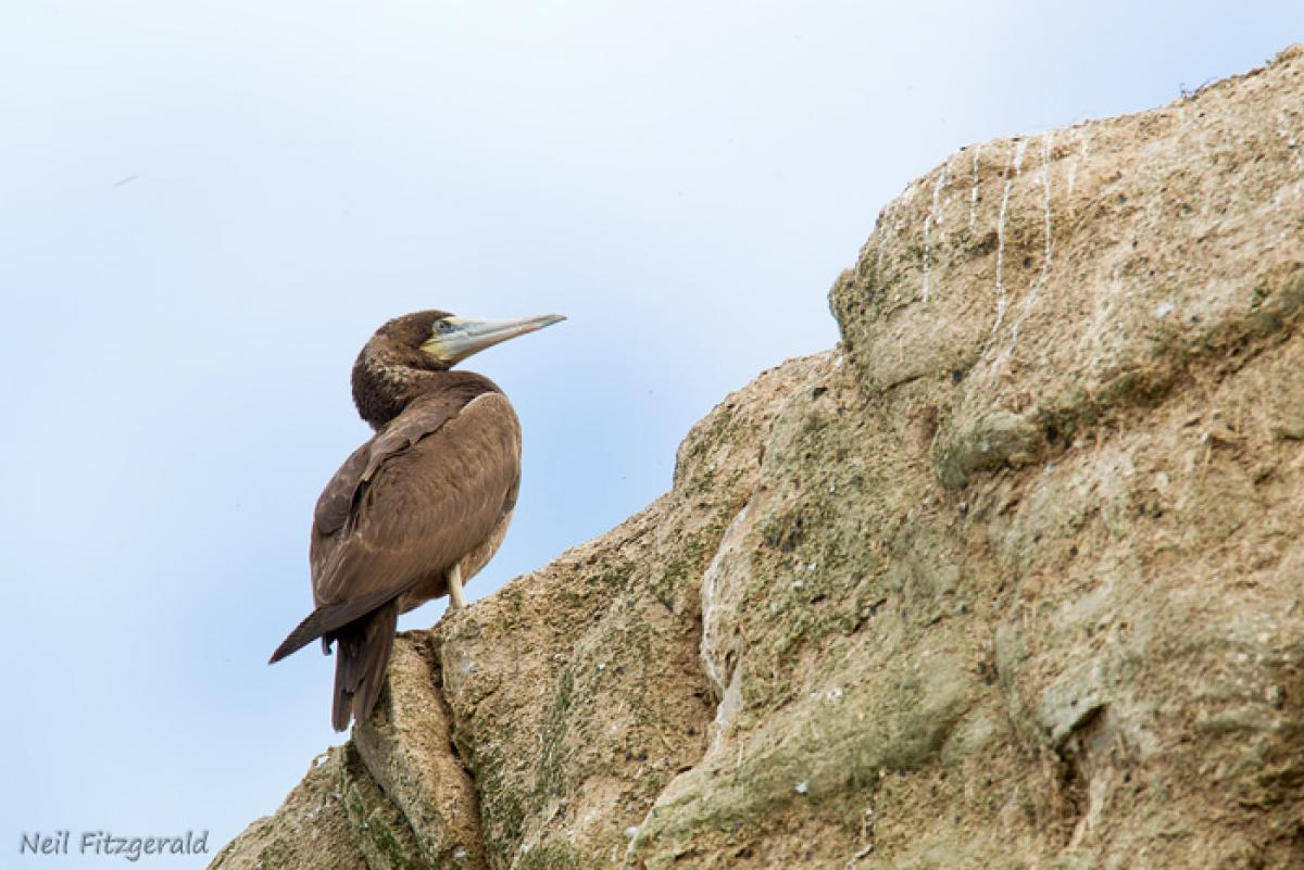 Brown booby immature - photo#27