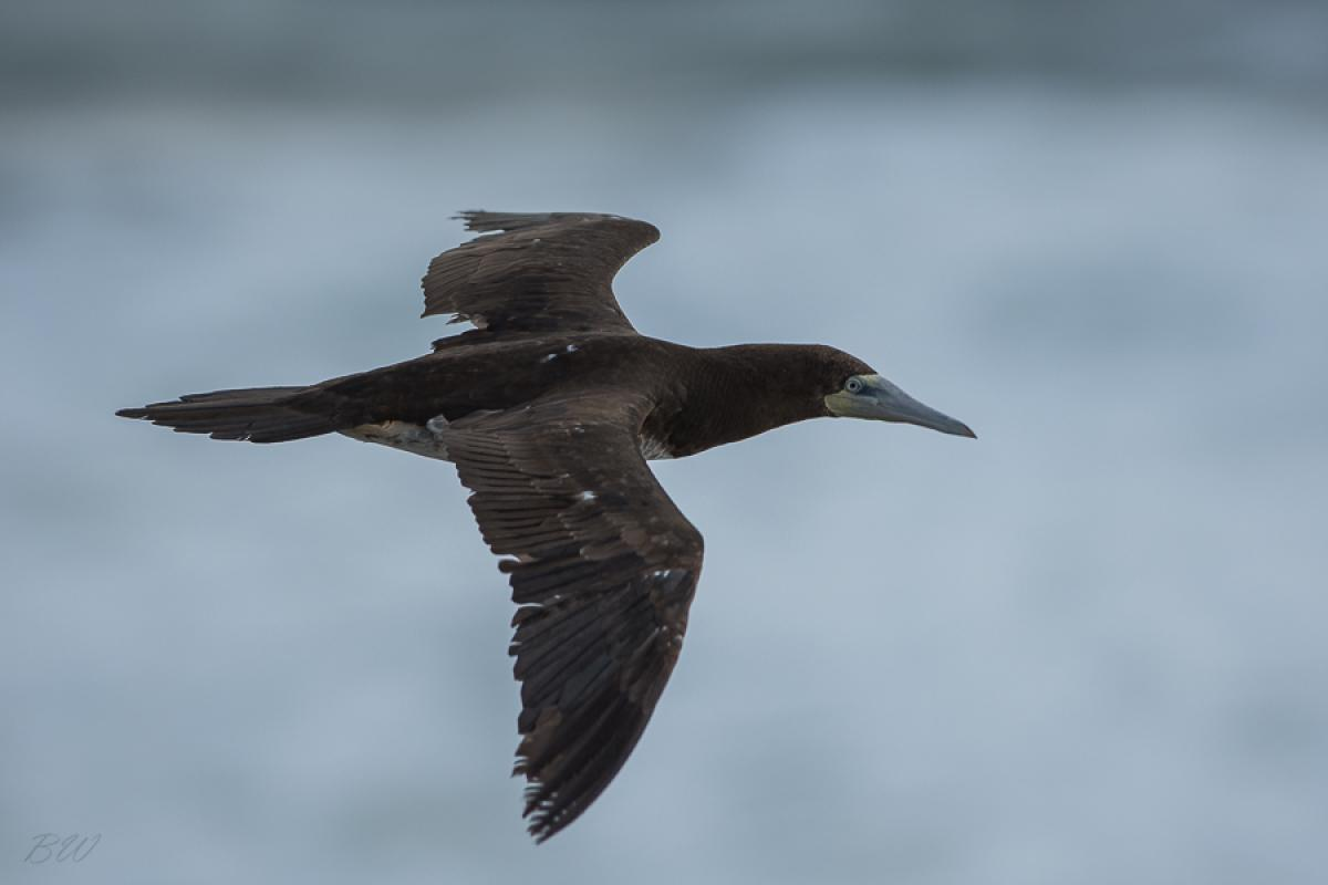 Brown booby immature - photo#19