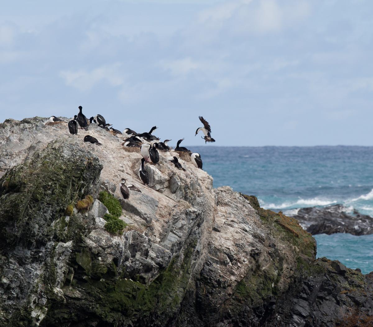 Macquarie Island Shag New Zealand Birds Online