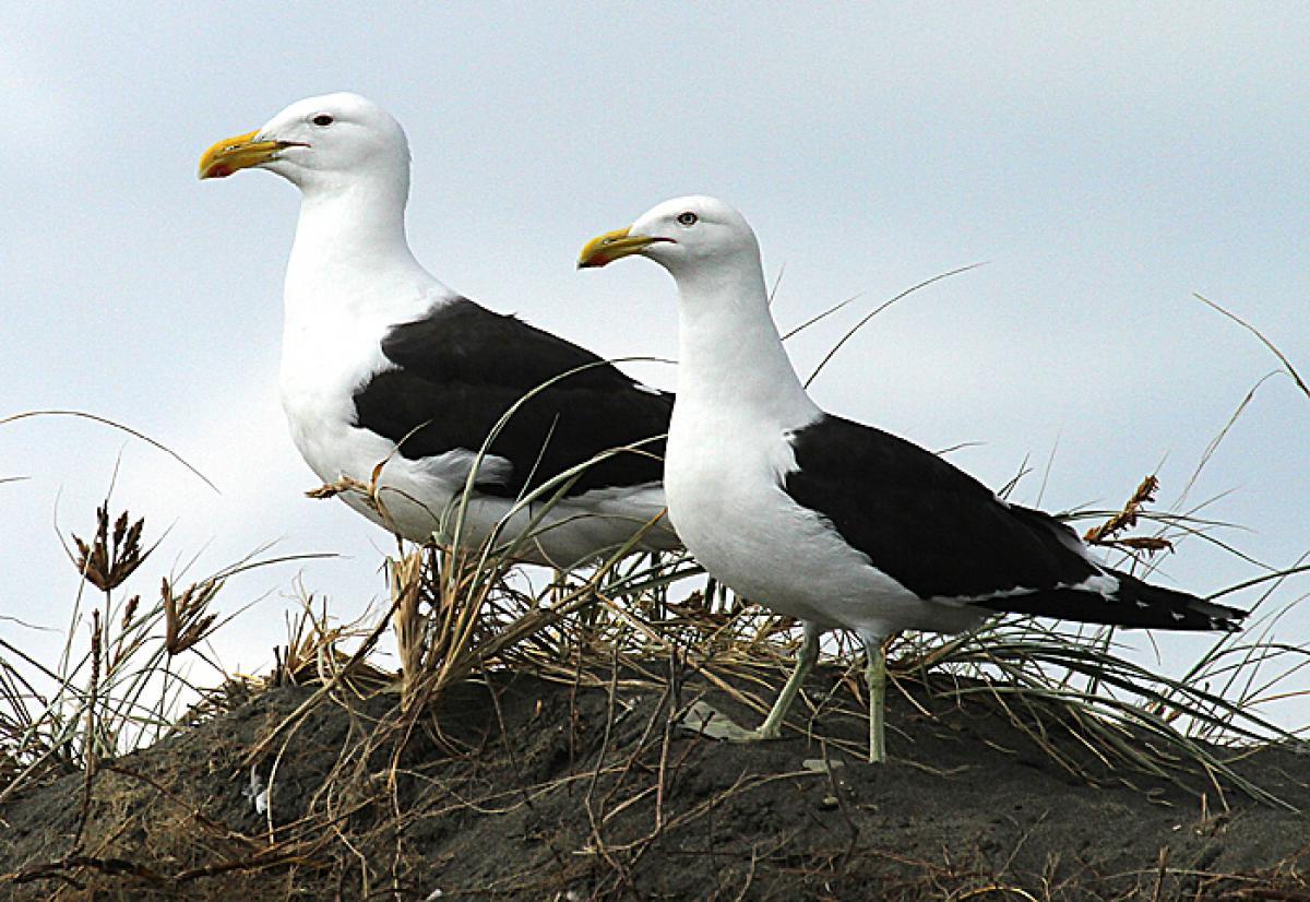 Female seagull - photo#47