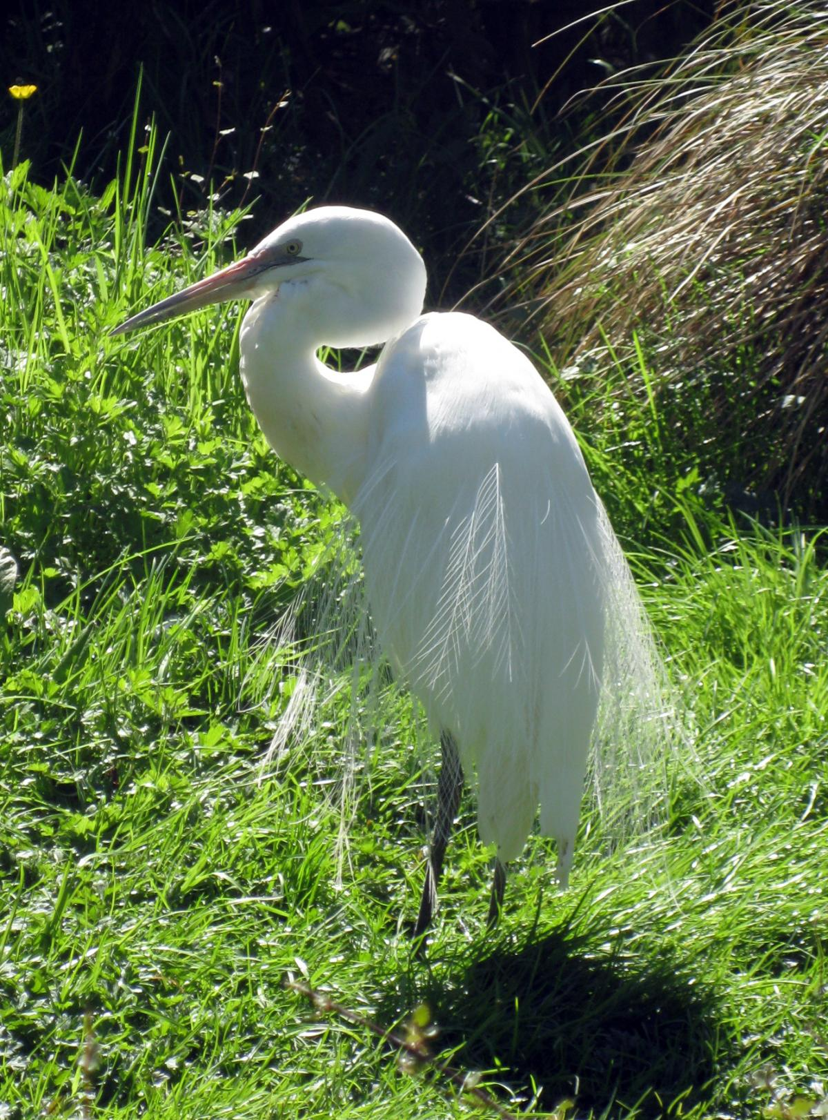 Little Yellow Bird >> White heron | New Zealand Birds Online