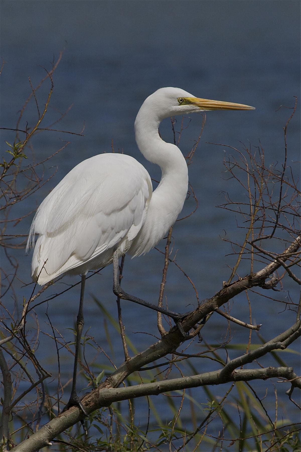 white heron new zealand birds online