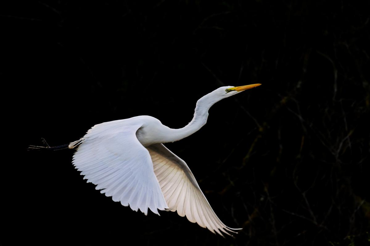 white heron Great white heron nwr reopens nov 1 backcountry info-the key west national wildlife refuge and great white heron national wildlife refuge are officially open to the public on november 1, 2017 as they were before september 5th click here for restrictions.