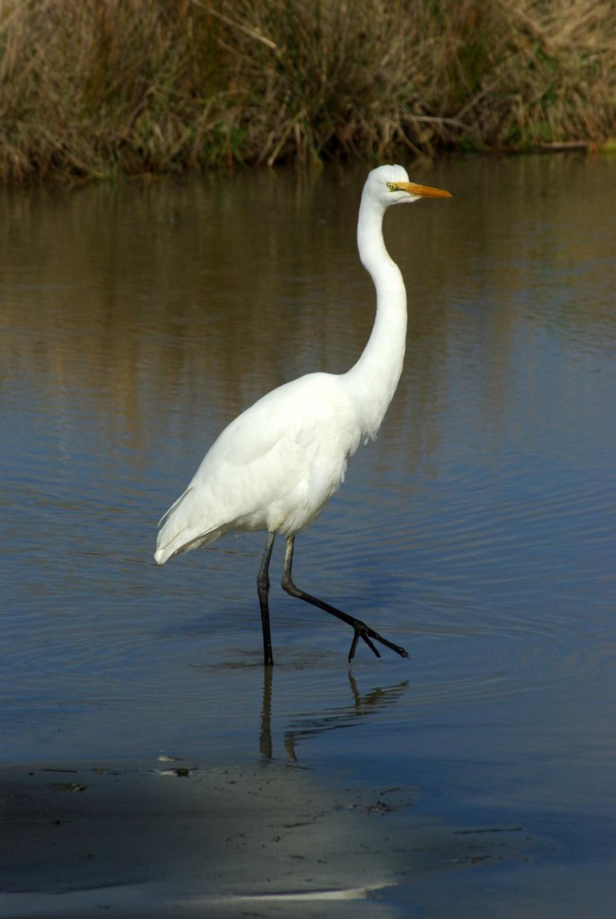 White Crane Bird | www.pixshark.com - Images Galleries ...