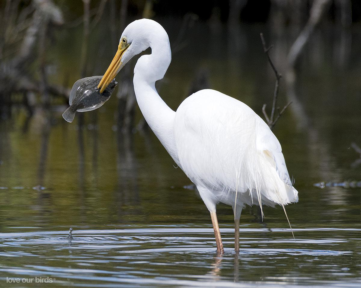 white heron Second in size, smaller only than great white heron, the great egret is consistent in appearance across all ages it is easily identified by the combination of its large size, black legs, and stout orange-yellow bill, but some show a black-tipped bill.