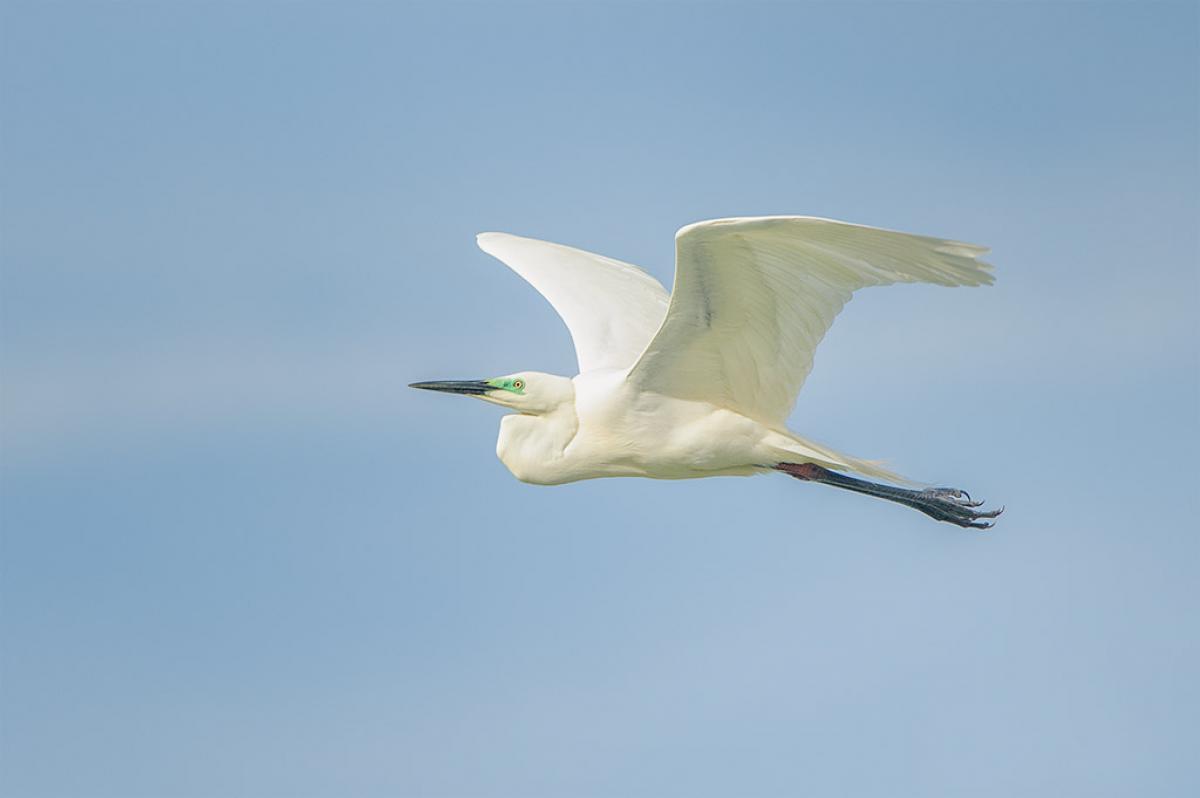 White herring bird - photo#18