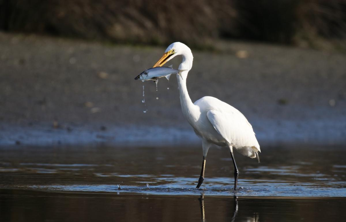 White heron | New Zealand Birds Online