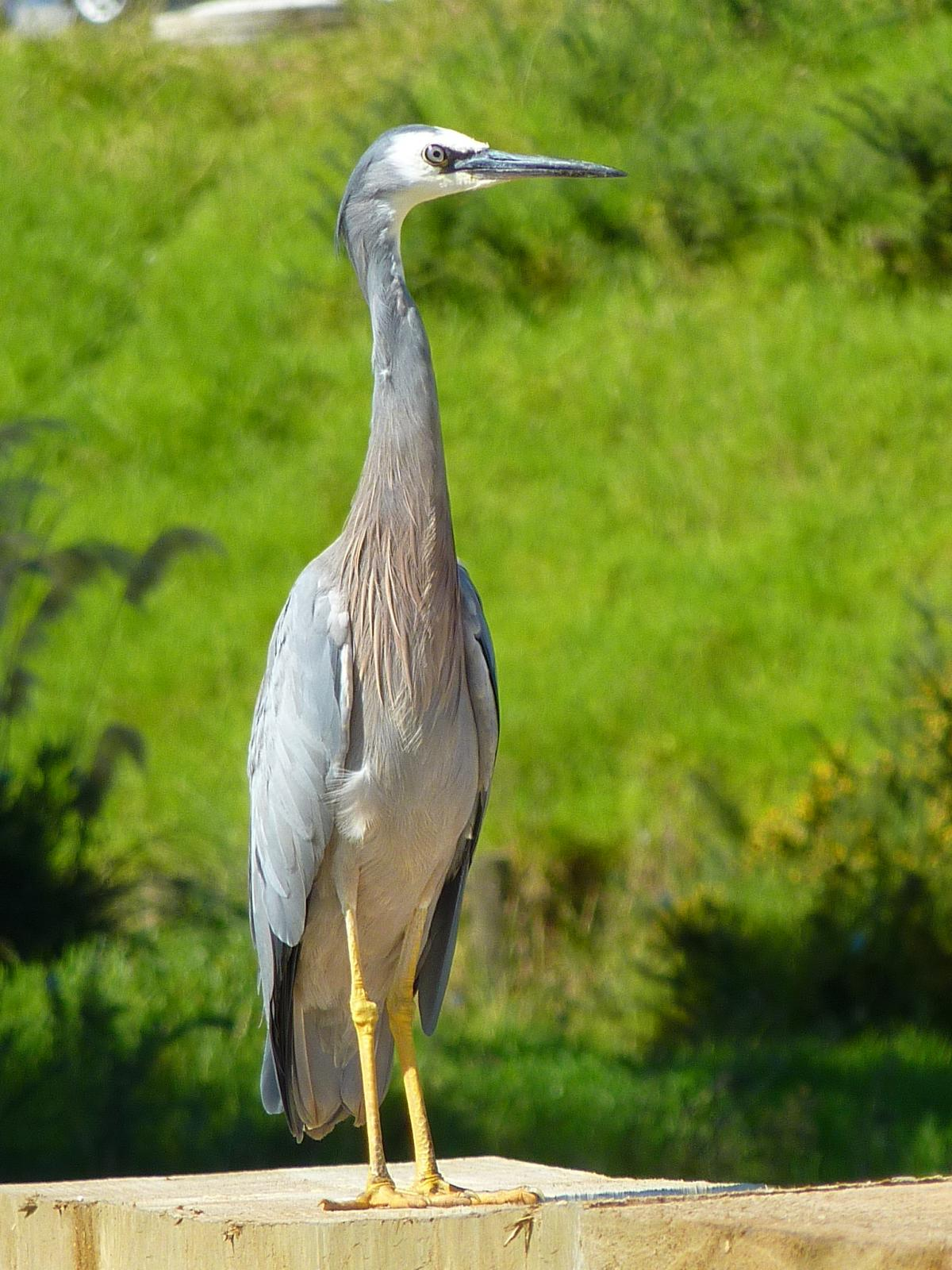 White Faced Heron Facts Image · White-faced Heron