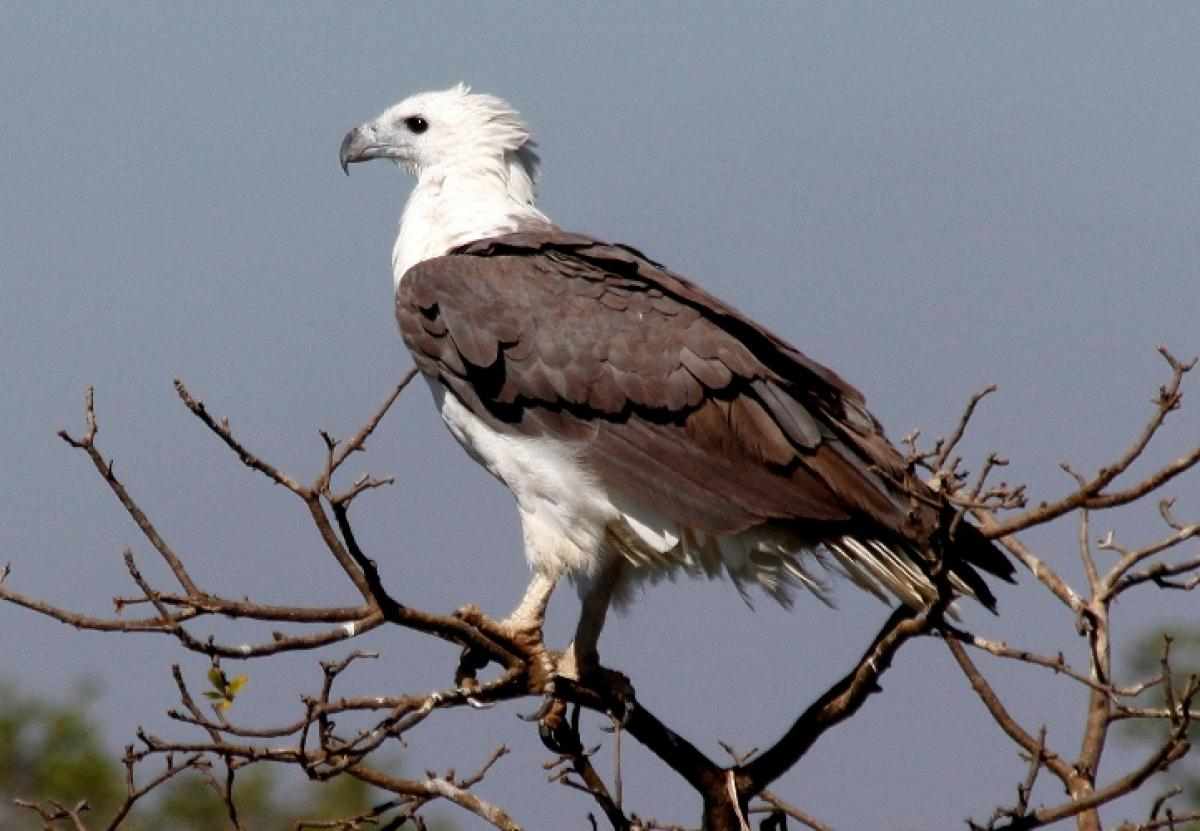 white bellied sea eagle new zealand birds online
