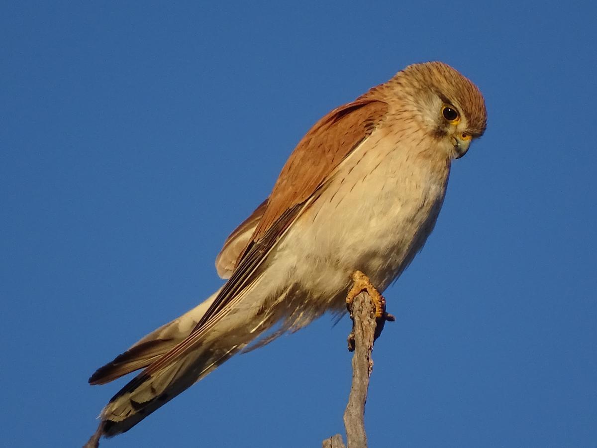 Nankeen kestrel | New Zealand Birds Online
