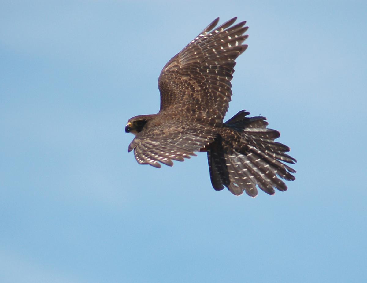 فالکون پرنده شکاری