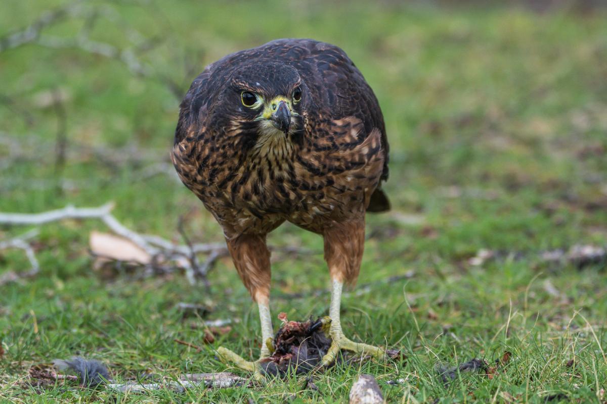 New Zealand falcon | New Zealand Birds Online