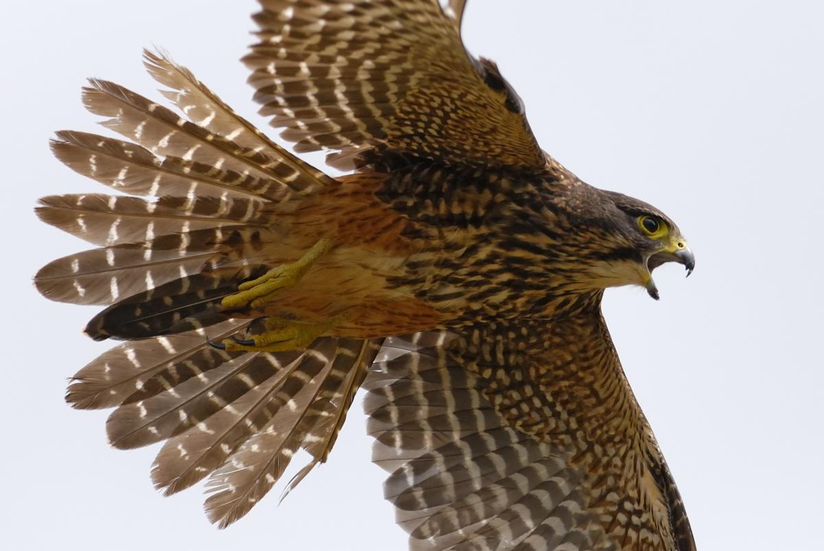 New Zealand falcon. Adult flight underside. East Otago, 2011-1. Image © Craig McKenzie. From the NZ Birds Online website.