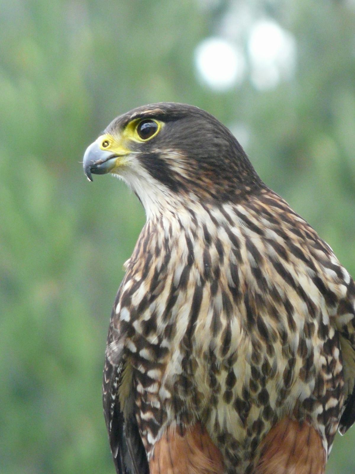 New Zealand falcon   N...