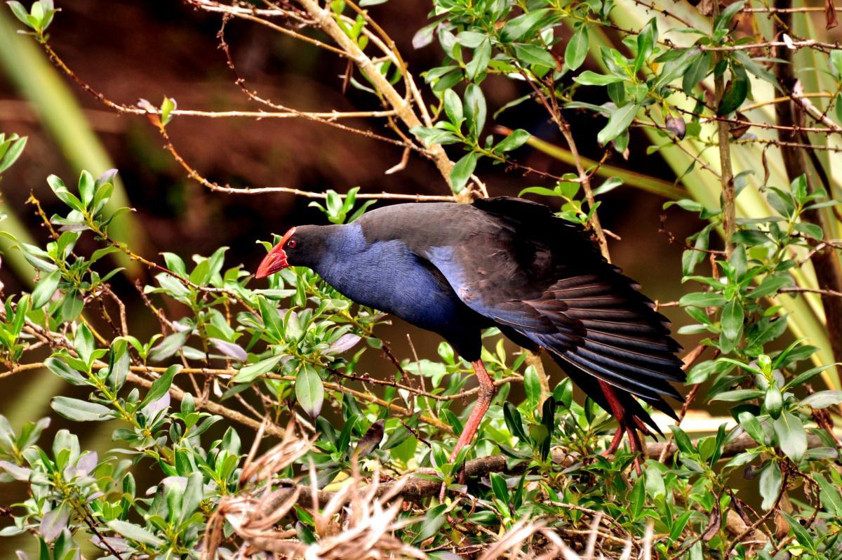vögel royal adderley