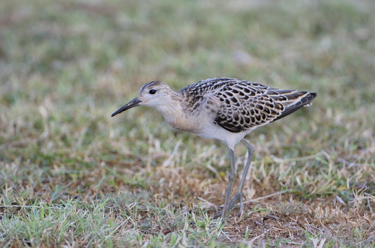 Ruff | New Zealand Birds Online