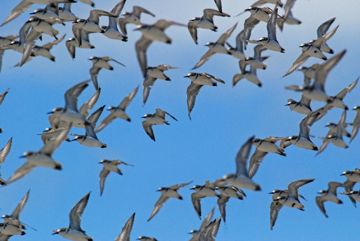 description aerial flying birds - photo #9