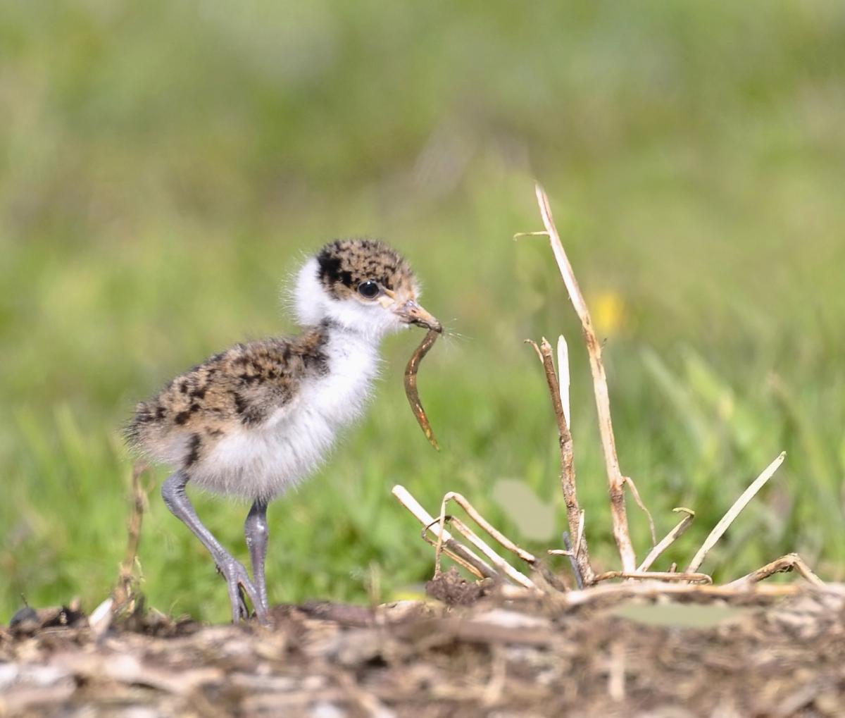 Spur Winged Plover New Zealand Birds Online