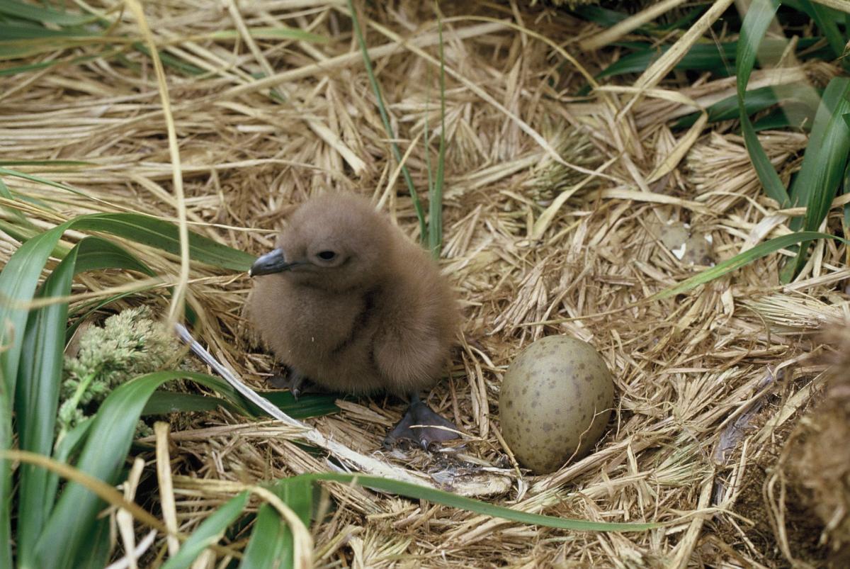 Subantarctic Skua New Zealand Birds Online