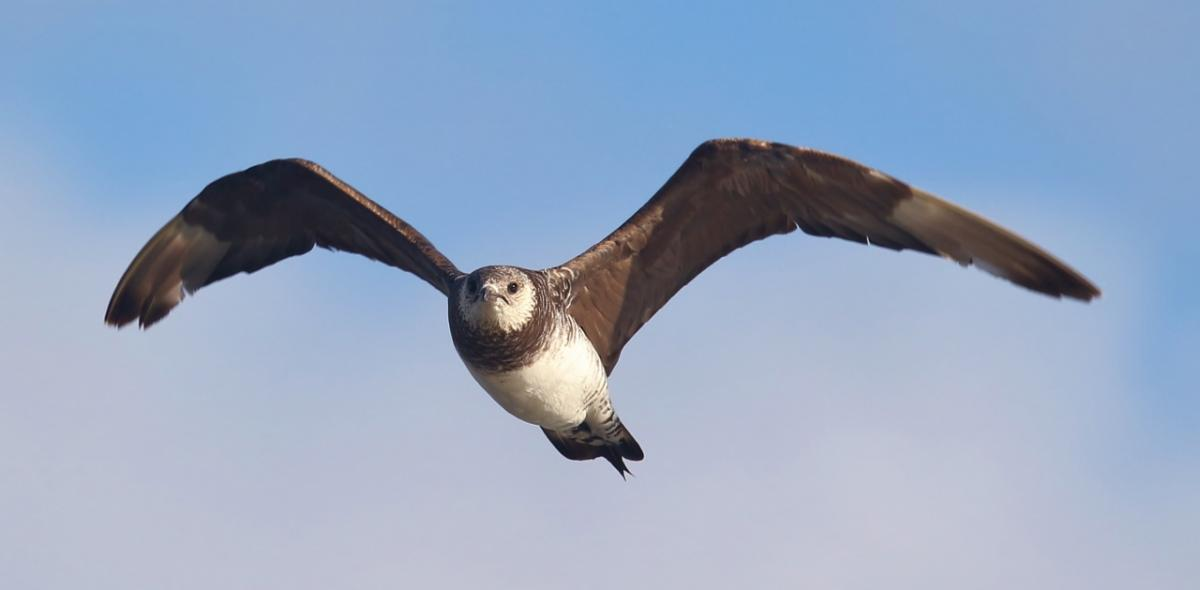 Parasitic Jaeger (Stercorarius parasiticus) taken in New Zealand