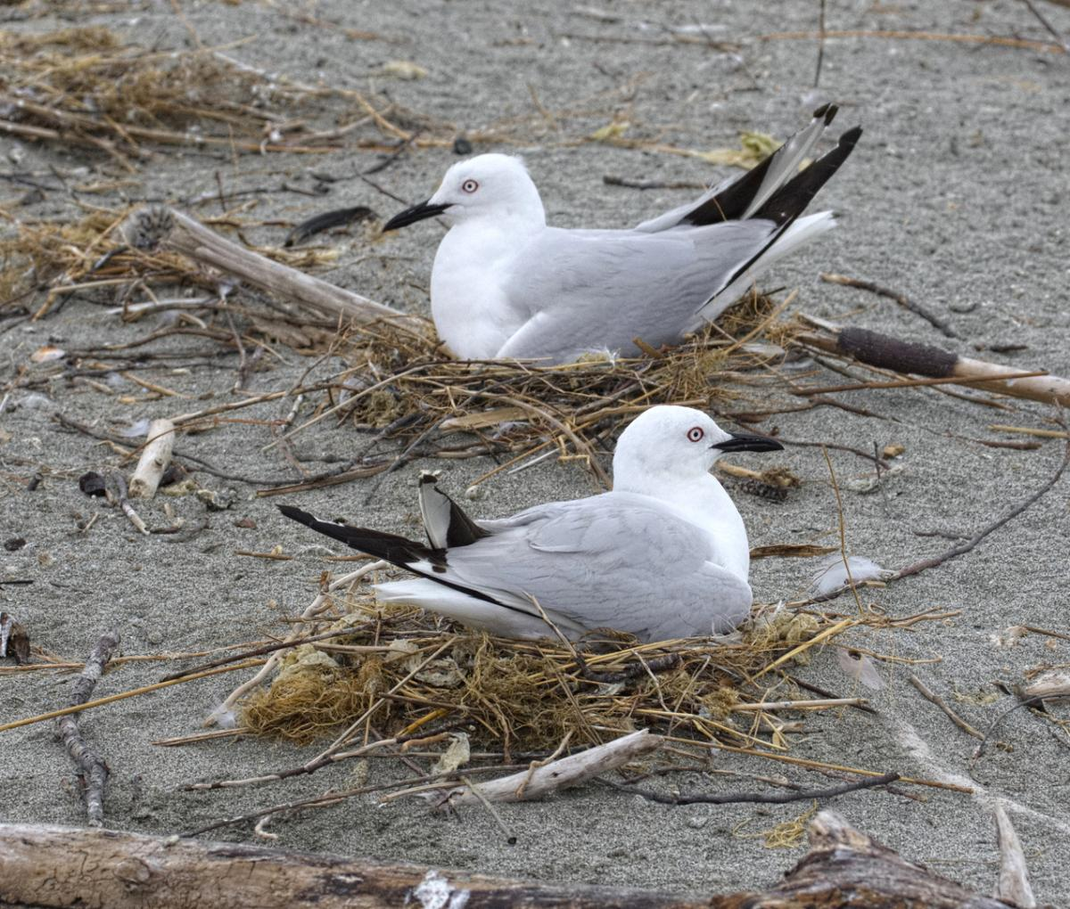 Black-billed gull   New Zealand Birds Online