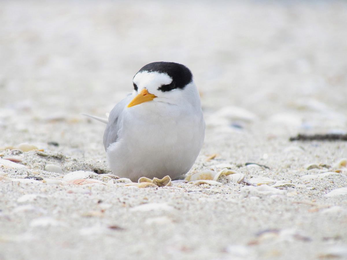 fairy tern new zealand birds online