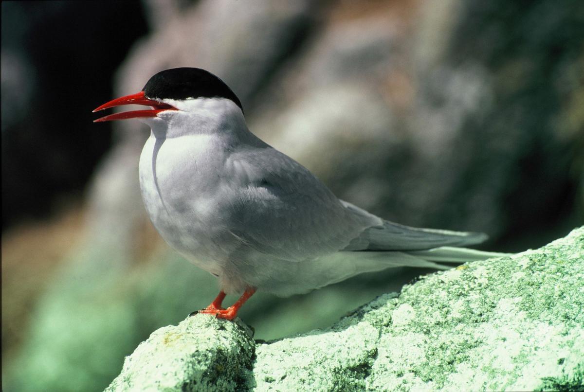 Antarctic tern new zealand birds online images sciox Gallery