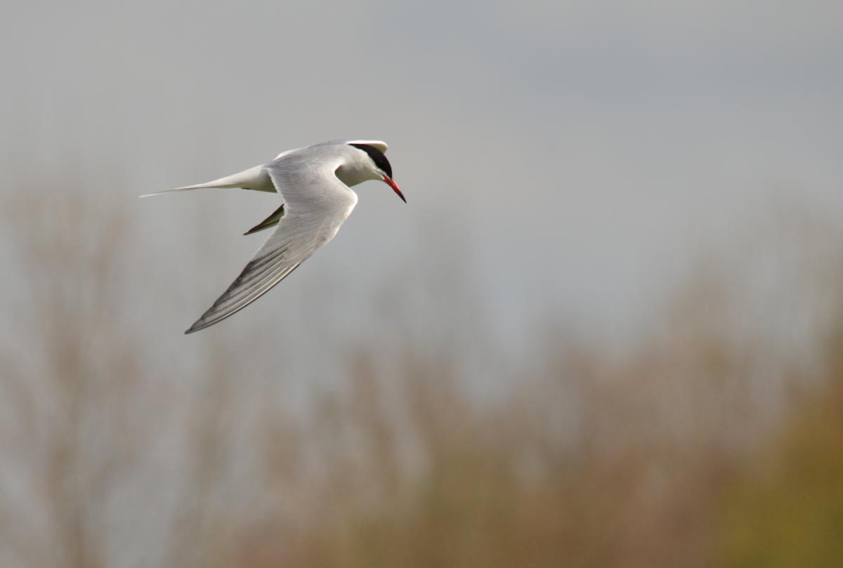 Common tern new zealand birds online image copy common tern breeding adult nominate subspecies in flight subspecies longipennis is the sciox Gallery