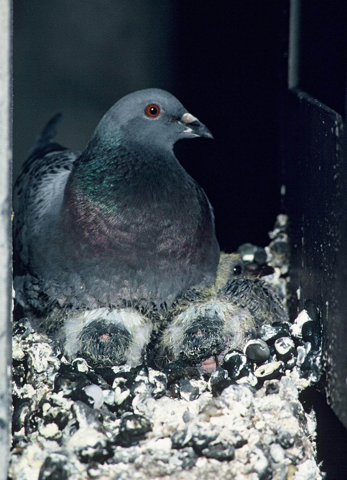 Rock Pigeon New Zealand Birds Online