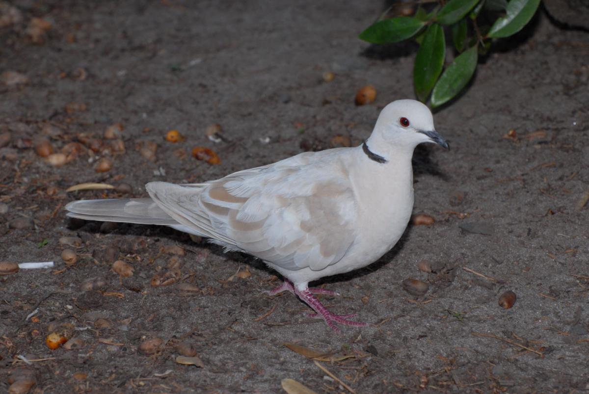 Barbary Dove New Zealand Birds Online