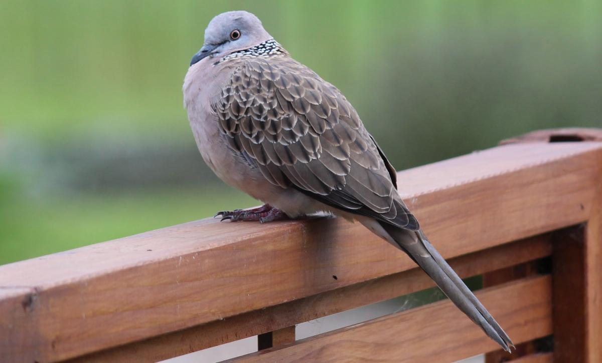 spotted dove new zealand birds online
