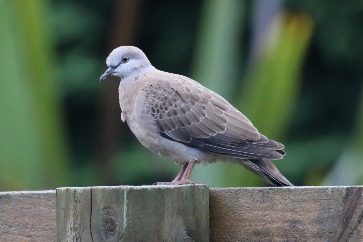 Spotted dove | New Zealand Birds Online
