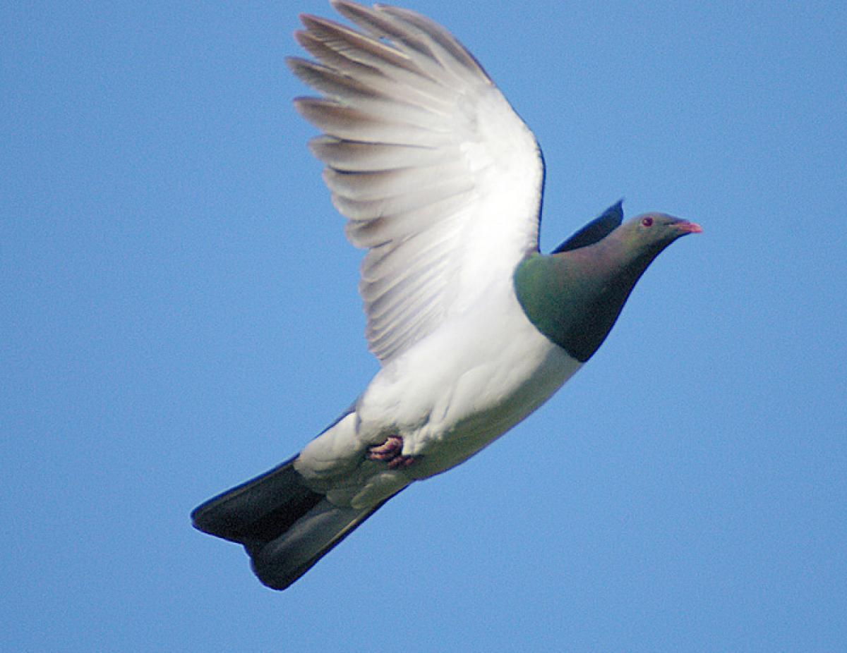 new zealand pigeon new zealand birds online