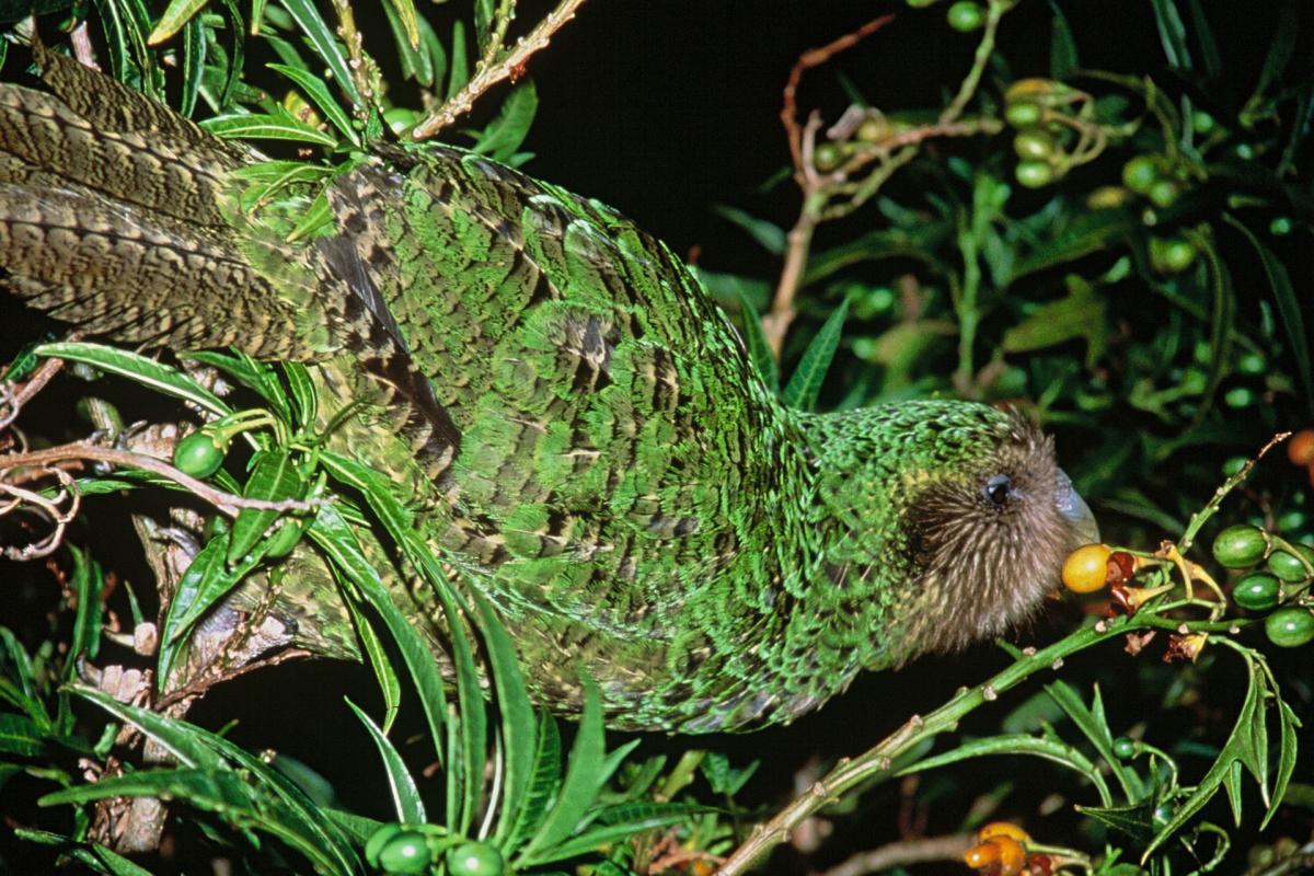 Kakapo Wallpaper Kakapo Wallpaper