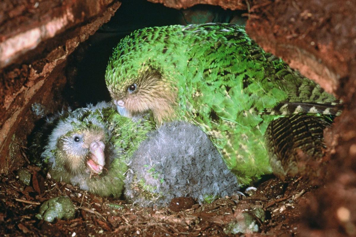 Resultado de imagem para /Kakapo