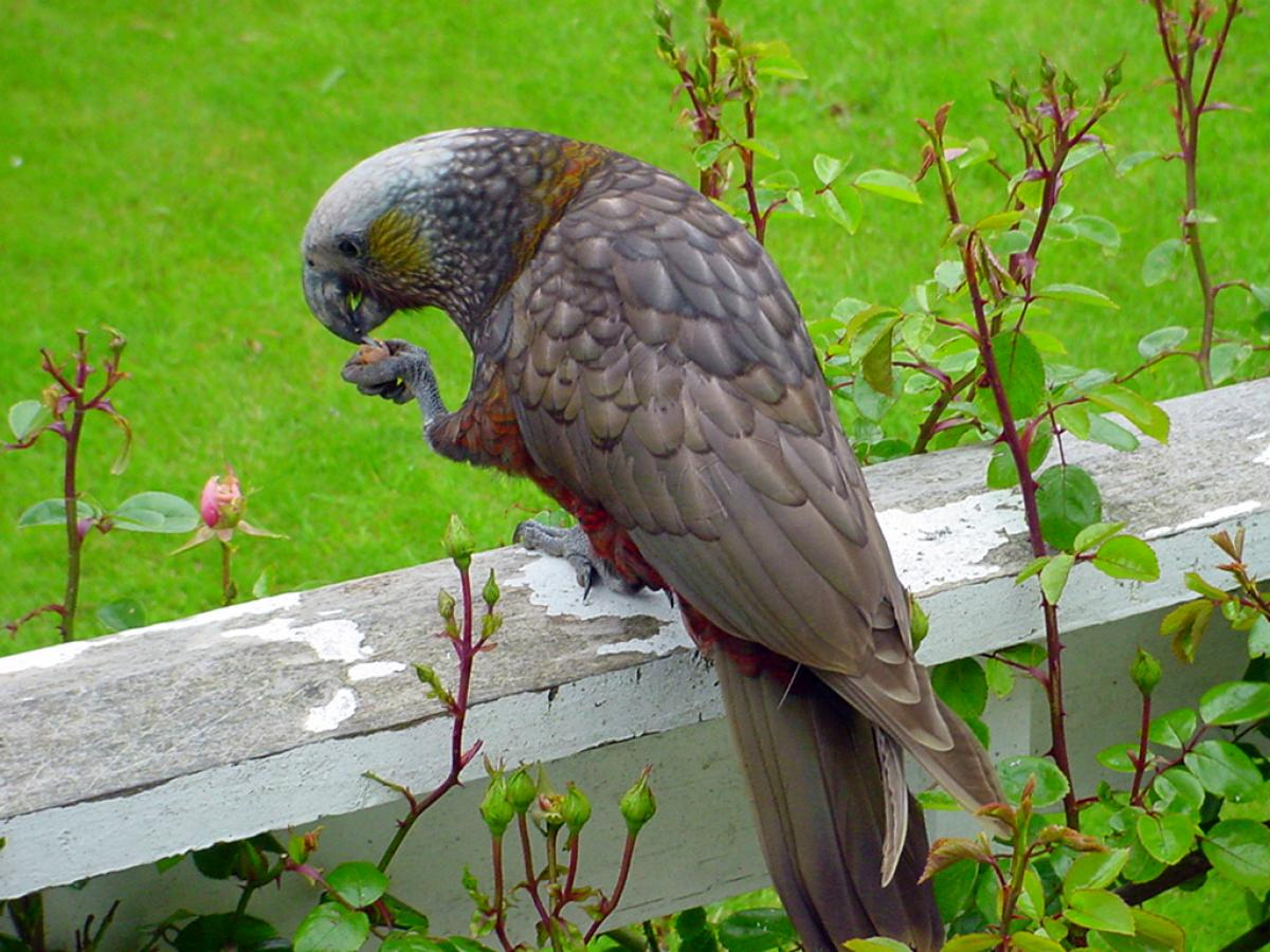 kaka new zealand birds online