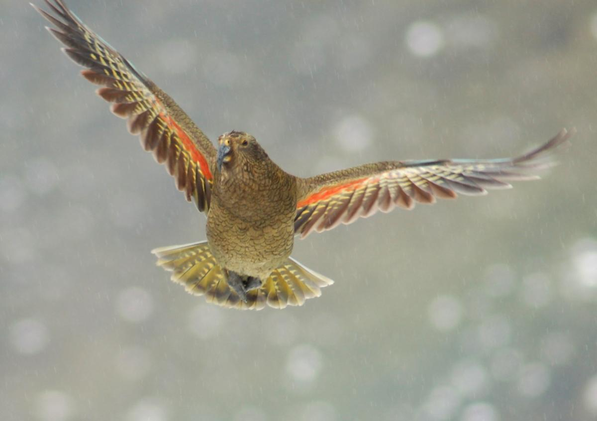 Kea | New Zealand Birds Online